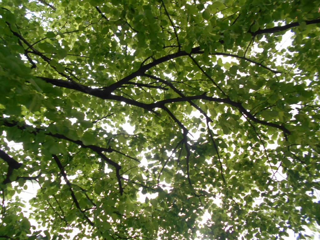 linden tree branch