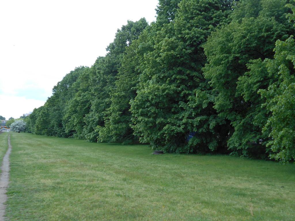 linden tree edges 3