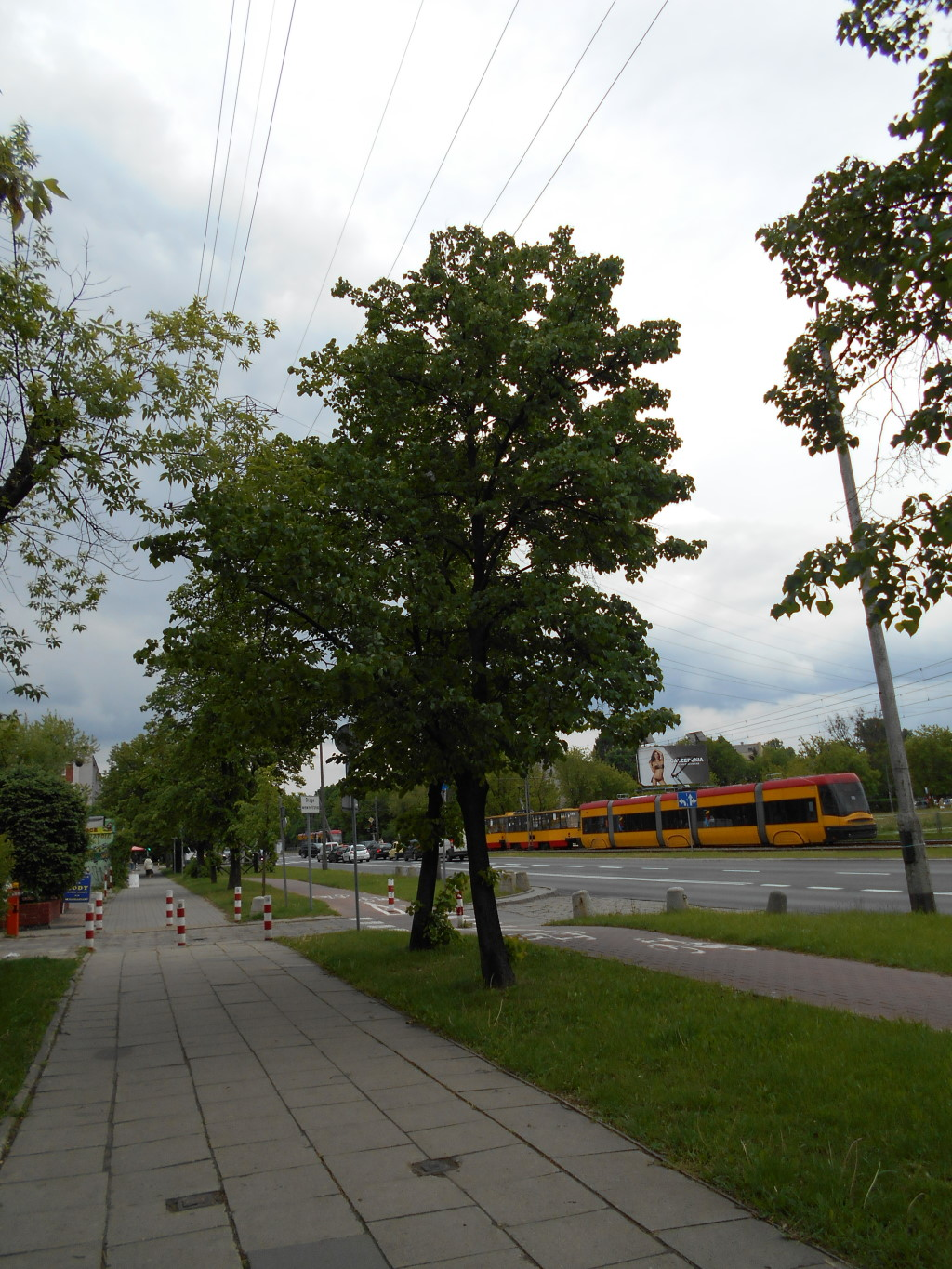 linden tree on road
