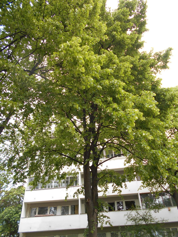 linden tree trimmed