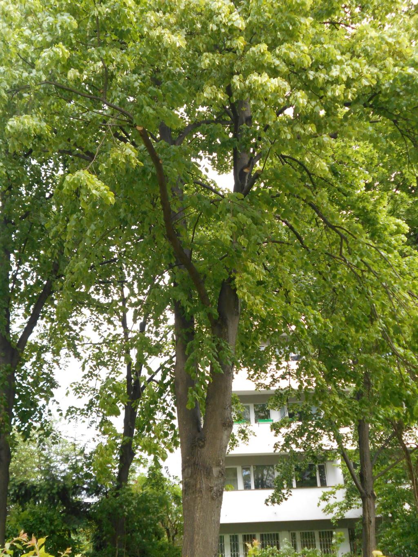 linden tree trunk 3