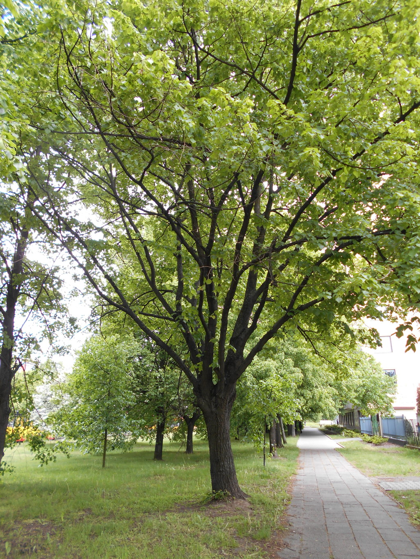 linden tree trunk arrangement 4