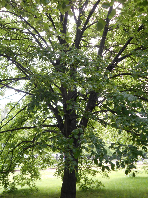 linden tree trunk arrangement